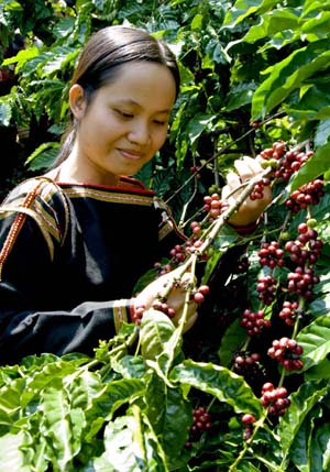 Процесс сбора вьетнамского кофе.