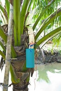 Сбор нектара для кокосового сахара